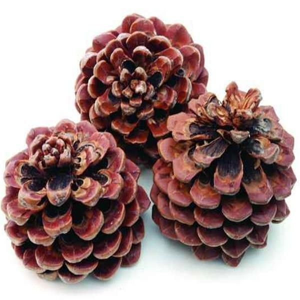 zapfen pinus pinea kaufen baumzapfen getrocknet 75 st ck. Black Bedroom Furniture Sets. Home Design Ideas
